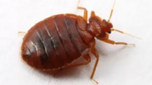 bedbugs-punaises-lits-1-360x203